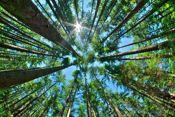 upward shot of trees in columbia sc